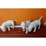 Bull Terrier Cachorros Pura Raza