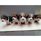 Lindos Cachorritos Beagle Tricolor