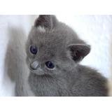 Hermosos Gatos Ruso Azul Disponibles
