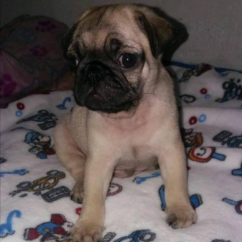 Pug - Melinterest Colombia 0a93ccc2530