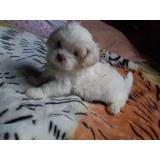Vendo Cachorros Shihtzu Blanco Mini Pequeño Hermoso Peludo