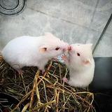 1 Hamster Raza Albino Solo En Barranquilla Mascota