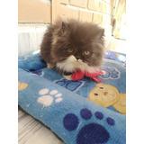 Hermosos Y Exclusivos Gatos Himalayos Y Persas Extremos!!