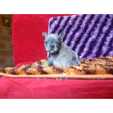 Vendo Cachorros Bulldog Francés Merle Ojos Azules Macho Puro
