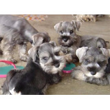 Vendo Cambio Cachorros Schnauzer  French Poodle Miniatura