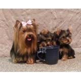 Cachorros Yorky Mini Toy