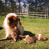 Cachorros Pastor Collie. De Montaña Criadero Canino