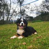 Cachorros Bernes De La Montaña. De Montaña Criadero Canino