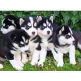Hermosos Cachorros Husky