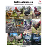 Gallinas Gigantes (de Raza) - Venta De Huevos Fértiles
