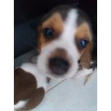 Perritos Beagles