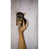 Hermosos Cachorros Yorkie Super Mini Precio Machos