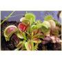 Semillas Dionaea Muscipula (venus Atrapamoscas)