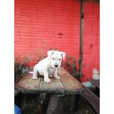Dogo Argentino Cachorros Disponibles
