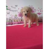 Venta Puppies Golden Retriever Retriver Dorados Cachorros