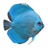 Pez Aquavida Disco 3-5 Cm Imagen Referencia Blue Diamond