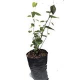 Plantas De Arándano. Variedad Beloxi Propagación Invitro