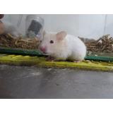Venta De Hamster, Hamster Mascota , Hamster