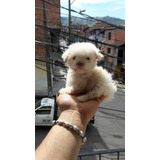 Hermosos French Poodle Tacita Y Minitoy