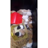 Hamster Comun O Hamster De Siria