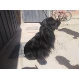 Hermoso Cocker Spaniel Negro En Busca De Una Novia  Urgente