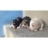 Perros Cachorros Beagle Mini Bigol Tricolor Limon