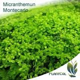 Micranthemun Montecarlo Planta Acuática Tapizante Acuario