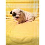 Bulldog Ingles Cachorros.,(hijos De Padres Registro Pedigrí)