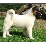 Cachorros Akita Americano. De Montaña Criadero Canino