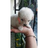 Hermosa French Poodle  Tacita Te Hembra