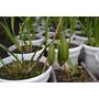 Semillas De Orquídea Cymbidium