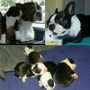 Pille Boston Terrier Legitimos
