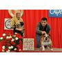 Bulldog Ingles Para Monta ( Registrado) Con Pedigri