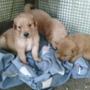 Cachorros Golden