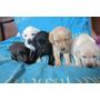 Vendo Labradores Cachorros Puros Baratos Diversos Colores