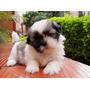 Adorables Traviezos Y Encantadores!! Cachorritos Shitzu