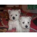 Cachorros Westy Hermosos